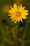 Girassol selvagem de Arkansas que floresce ao longo da estrada imagens de stock royalty free