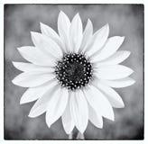 Girassol selvagem em preto e branco fotos de stock royalty free