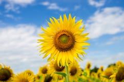 Girassol sob o céu azul Imagens de Stock Royalty Free
