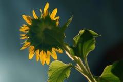 Girassol, sonnenblume Imagem de Stock