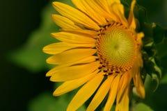 Girassol, sonnenblume Foto de Stock Royalty Free