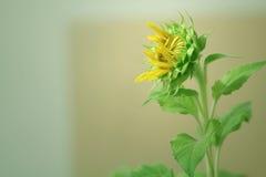 Girassol, sonnenblume Foto de Stock