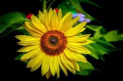 Girassol tropical bonito na flor completa foto de stock