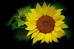 Girassol tropical brilhante e bonito imagens de stock royalty free