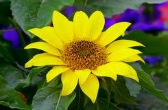 Girassol tropical em um jardim imagem de stock royalty free