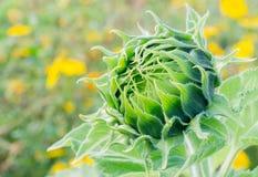 Girassol verde do botão Imagens de Stock Royalty Free