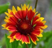 Girassol vermelho do Wildflower do amarelo alaranjado Fotografia de Stock