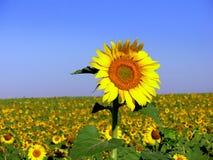 Girassol VI Imagem de Stock Royalty Free