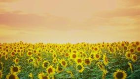 Girassol vibrante arquivado com fundo alaranjado do por do sol Girassóis de florescência no farmfield Cena brilhante do verão com vídeos de arquivo