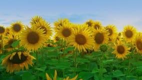 Girassol vibrante arquivado com fundo do céu azul Girassóis de florescência no farmfield Cena brilhante do verão com agrícola vídeos de arquivo