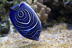 girdled синь ангела Стоковое фото RF
