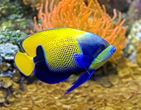 girdled синь 5 angelfish Стоковое Изображение RF