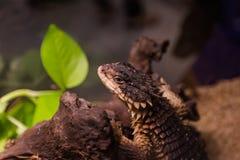 Girdled Lizard Stock Photos