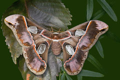 Girdled Silk Moth Royalty Free Stock Photos