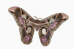 Girdled Silk Moth Royalty Free Stock Image