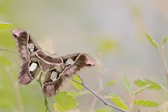 Girdled Silk Moth Stock Photos