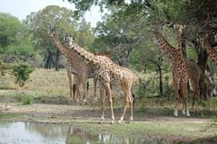 Gireffe. Group of giraffes royalty free stock photos