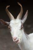 Girgentana goat Capra aegagrus hircus.  Royalty Free Stock Images