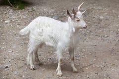 Girgentana goat Capra aegagrus hircus.  Stock Photography