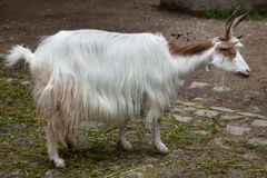 Girgentana goat Capra aegagrus hircus.  Royalty Free Stock Photography