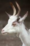 Girgentana goat Capra aegagrus hircus.  Stock Image