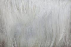 Girgentana goat Capra aegagrus hircus. Fur texture.  Stock Photos