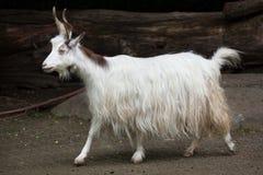 Girgentana-Ziege Capra aegagrus hircus Lizenzfreie Stockbilder