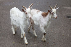 Girgentana-Ziege Capra aegagrus hircus Lizenzfreies Stockfoto