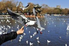 Girig Seagull Royaltyfria Bilder