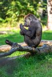 A girilla is pooping on a branch. And smells like it royalty free stock photo