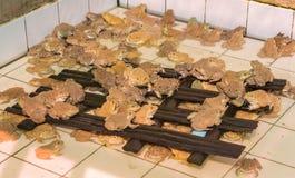 Girino asiatico orientale della rana toro in stagno Immagini Stock