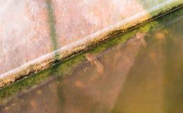 Girino asiatico orientale della rana toro in stagno Immagini Stock Libere da Diritti