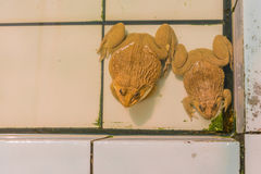 Girino asiatico orientale della rana toro in stagno Immagine Stock