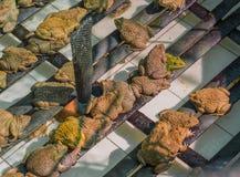 Girino asiatico orientale della rana toro in stagno Fotografia Stock Libera da Diritti