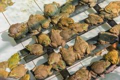 Girino asiatico orientale della rana toro in stagno Fotografia Stock