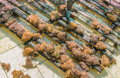 Girino asiatico orientale della rana toro in stagno Fotografie Stock