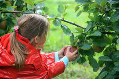 Girl and apple. Young girl picking an apple on branch tree stock images