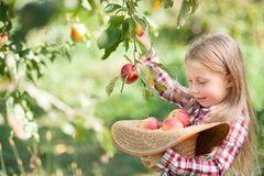 Girl with Apple in the Apple Orchard. Beautiful Girl Eating Organic Apple in the Orchard. Harvest Concept. Garden, Toddler eating royalty free stock photos
