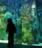 Girl in the aquarium. Girl shadow in front the aquarium looks the fishes Stock Image