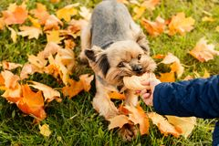 Girl in an autumn coat holding a dogs toy, playing with Yorkshire Terrier on autumn leaves background. Children and royalty free stock photos