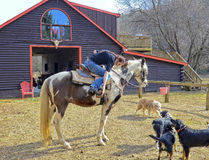 Girl at Barn Getting Ready to Ride Her Horse. A teenage girl at a barn getting ready to ride her horse, the dogs are watching royalty free stock photo