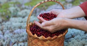 A girl with a basket walks through the woods and picks berries. stock video