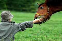 Girl and a bay horse. Girl in the hat is fiding brown/bay horse with some grass on the meadow Royalty Free Stock Photo