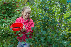 Girl with berries in green garden. Girl teenager in red jacket with bucket of chokeberry in green garden Royalty Free Stock Images
