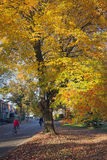 Girl on bicycle passes colorfull autumn maple tree in driebergen Stock Photo