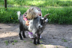 Girl with billy goat. A toddler hugging a billy goat at the children's zoo stock image