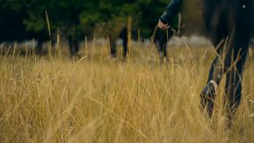Girl in black walks through a field of wheat. Autumn stock footage