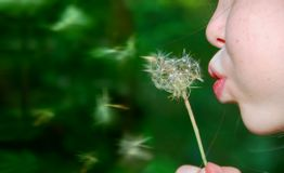 Girl Blowing Dandelion. Freckle-faced girl with puffed cheeks blowing dandelion blossom Stock Images