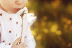 girl blowing on a dandelion in a field royalty free stock image