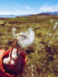 Girl blowing a dandelion and holding it with her hand royalty free stock images